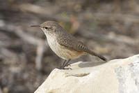 j12 IMG 2548 - Racquel the Rock Wren