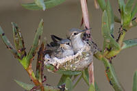 k10 IMG 5946 hummingbird nestlings