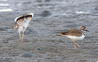 k16 IMG 6941 Killdeer